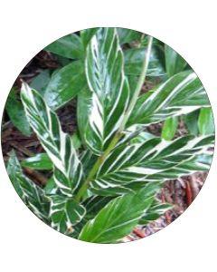 Feuille d'Alpinia Sanderi (botte de 10 tiges)