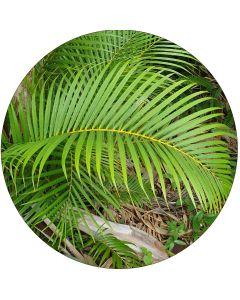Areca (Palmier Multipliant) - Par botte de 10