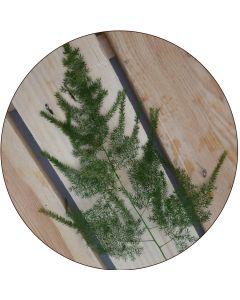 Asparagus plumosus en feuille (botte de 10)