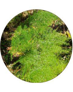 Asparagus Plumosus en Liane (à l'unité)