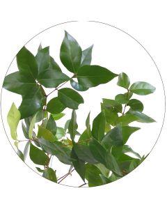 Cerisier Eugénia (Botte de 10 tiges)