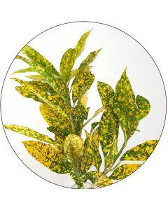 Croton en tiges (botte de 10)