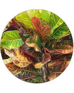 Croton en feuille (botte de 10)