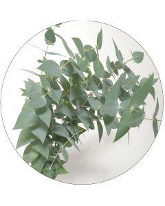 Eucalyptus (botte de 10 tiges)