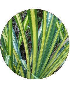 Grand Pandanus panaché vert et jaune (botte de 10)