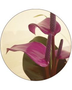 Mini Anthurium mauve (botte de 10)