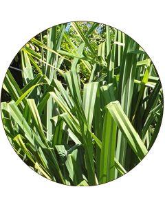 Grand Pandanus vert (botte de 10)