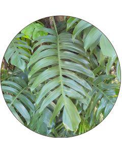 Philodendron 50 cm et plus  (à l'unité)