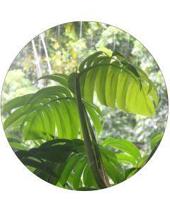 Philodendron 30-45 cm (à l'unité)