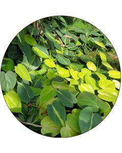 """Philodendron """"Coeur"""" en petite liane (par 5)"""