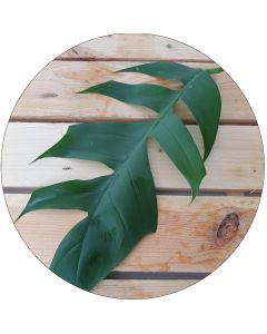 Philodendron 20-25 cm (botte de 10)