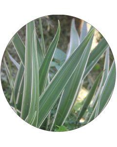 Petit Phormium panaché vert et blanc (botte de 10)