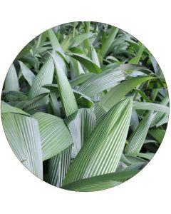 Plicata  - Botte de 10, 30 ou 100 feuilles