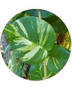 Pothos, petite feuille 8-12 cm (botte de 10cm)