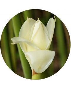 Rose de Porcelaine blanche