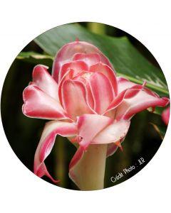Rose de porcelaine nacrée