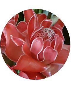 Rose de porcelaine Corail
