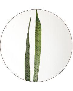 Sansevieria panaché de verts (botte de 10)