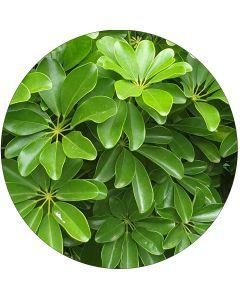 Schefflera Vert (botte de 10)