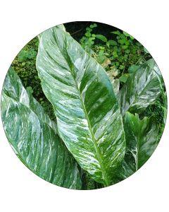 Spathiphyllum panaché vert et blanc (botte de 10)