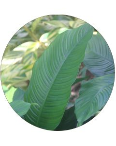 Spathiphyllum (botte de 10)